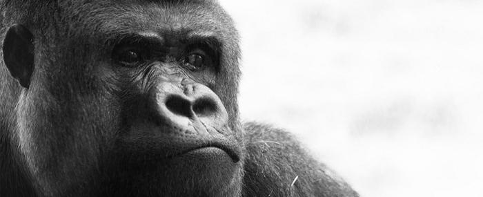 Little Bab yand the Great Ape